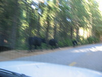 Blurry wild mountain cows