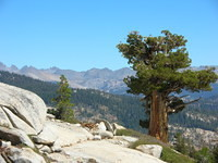 Awesome foxtail pine watching over the landscape from up high