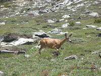 Mule deer coming down from Timber Gap
