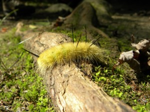 Fuzzy Caterpillar in Smoky Mountains